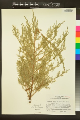 Image of Juniperus x media