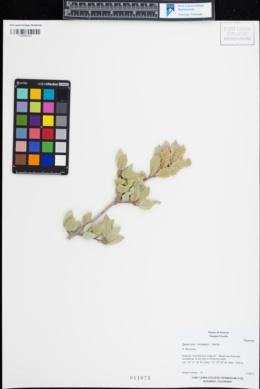 Quercus toumeyi image