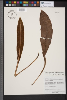 Image of Elaphoglossum alatum