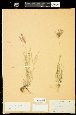 Image of Chloris x brevispica
