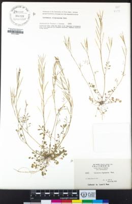 Cardamine oligosperma image