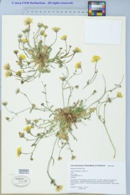 Malacothrix fendleri image