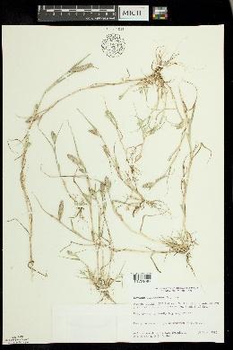Crypsis schoenoides image