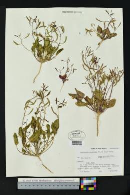 Image of Camissonia scapoidea