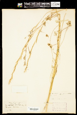 Image of Andropogon brachystachyus