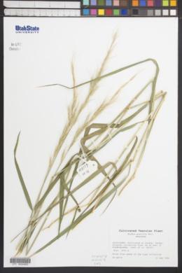 Image of Elymus gracilis