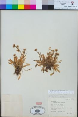 Image of Erigeron algidus