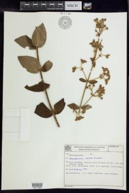 Image of Banisteriopsis hirsuta