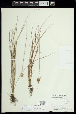 Image of Rhynchospora brittonii