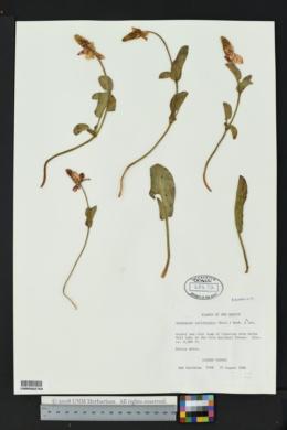 Anemopsis californica image