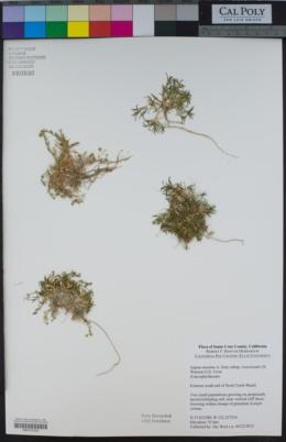 Image of Sagina maxima