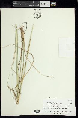 Image of Cenchrus durus