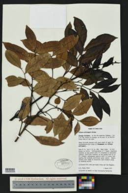 Image of Alfaroa williamsii