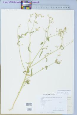 Croton texensis image