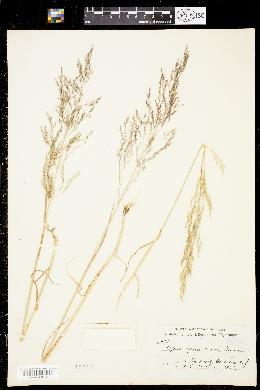 Image of Apera spica-venti