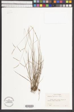 Image of Paspalum hyalinum