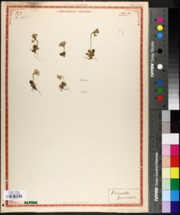 Image of Primula farinosa