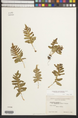 Polypodium californicum image
