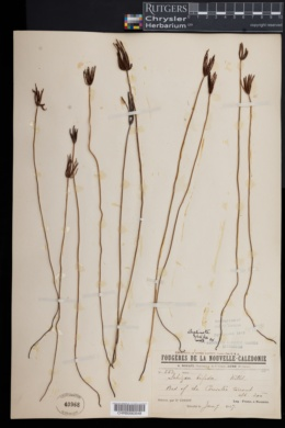Schizaea bifida image