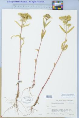 Flaveria campestris image