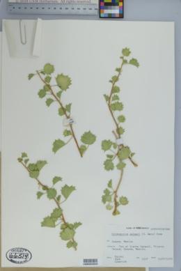 Cnidoscolus palmeri image