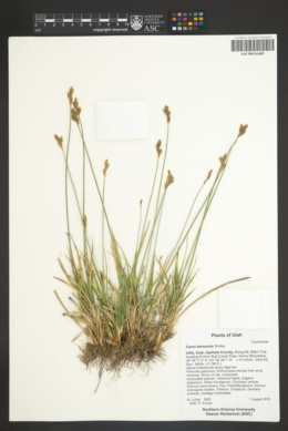 Carex tahoensis image