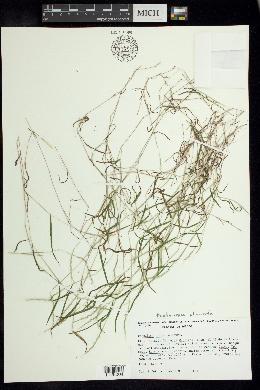 Image of Muhlenbergia plumiseta