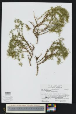 Frankenia jamesii image