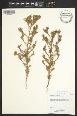 Cordylanthus parviflorus image