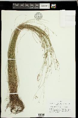 Image of Rhynchospora stenophylla