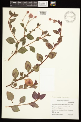 Image of Persicaria capitata