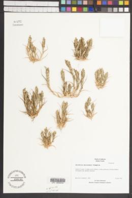 Image of Orcuttia mucronata