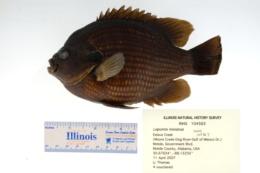 Lepomis miniatus image