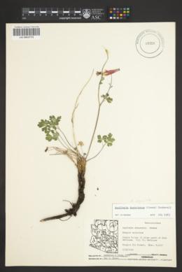 Aquilegia desertorum image
