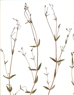 Kelloggia galioides image
