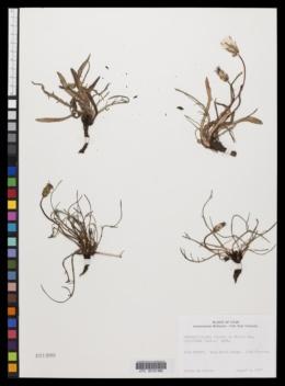 Agoseris glauca var. laciniata image