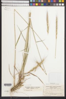 Image of Elymus hansenii
