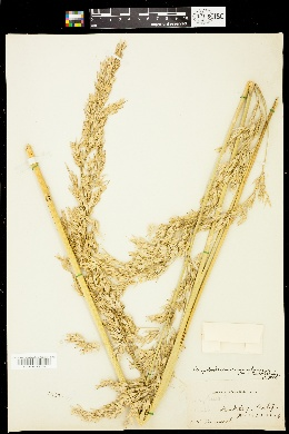 Image of Ampelodesmos mauritanica