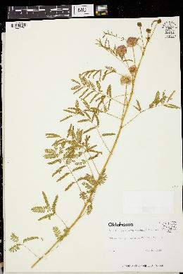 Image of Mimosa roemeriana