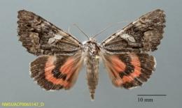 Image of Catocala ophelia