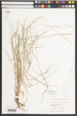 Brachypodium retusum image