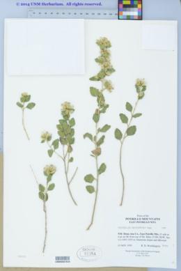 Brickellia baccharidea image