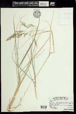 Image of Calamagrostis valida