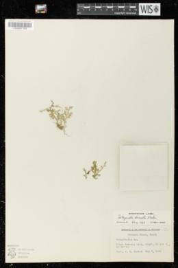 Image of Selaginella armata