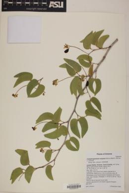 Colophospermum mopane image
