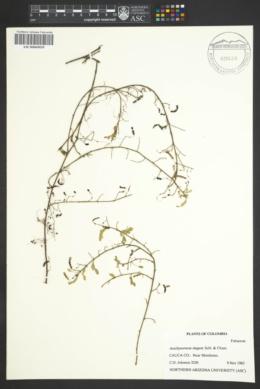 Aeschynomene elegans image
