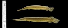 Lepisosteus platyrhincus image
