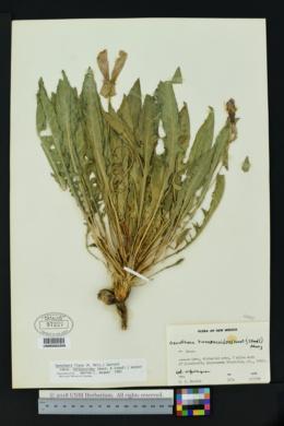 Oenothera flava subsp. taraxacoides image