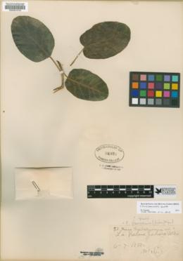 Ficus petiolaris image