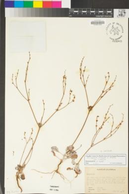 Eriogonum luteolum image
